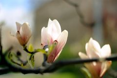 Magnolia die in Praag bloeien royalty-vrije stock afbeeldingen