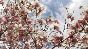 Magnolia die - in zonlicht van de lente bloeien stock video