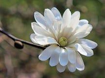 Magnolia dolce Fotografie Stock Libere da Diritti