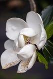 Magnolia 1 Stock Photo