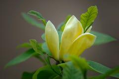 Magnolia Elizabeth - mooie gele bloeiende boom stock fotografie