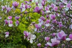 Magnolia en el jardín botánico de Kiev Fotos de archivo