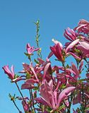Magnolia en el resorte fotos de archivo