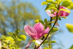 Magnolia en primavera Foto de archivo