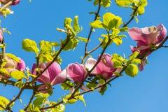 Magnolia en primavera Foto de archivo libre de regalías
