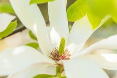 Magnolia en primavera Imagen de archivo
