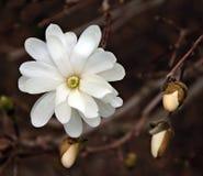 Magnolia et bourgeons Image libre de droits