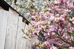 Magnolia et cerisier en fleurs Photo libre de droits