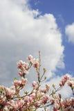 Magnolia et ciel nuageux bleu frais de ressort Images stock