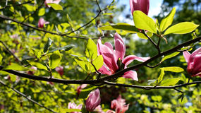 Magnolia, fleur, ressort, Image stock