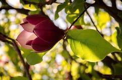 Magnolia floreciente Foto de archivo