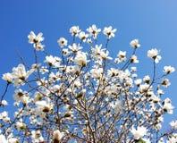 Magnolia floreciente imágenes de archivo libres de regalías