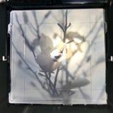 Magnolia floreciente con las hojas verdes, naturaleza natural de vida de la flor foto de archivo