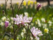 Magnolia floreciente de la especie de Leonard Messel fotografía de archivo libre de regalías