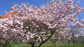 Magnolia floreciente del ?rbol de la magnolia almacen de video