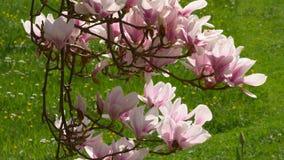 Magnolia floreciente del ?rbol de la magnolia almacen de metraje de vídeo