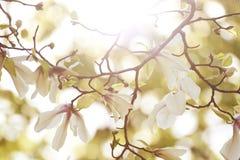 Magnolia floreciente en el sol de la mañana Fotos de archivo libres de regalías