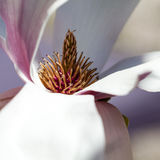Magnolia - flores hermosas Fotos de archivo libres de regalías