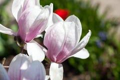 Magnolia - flores hermosas Imágenes de archivo libres de regalías