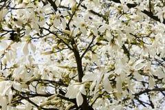Magnolia flower. Wide area of a magnolia tree flowers Stock Photos
