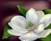 Magnolia Flower Stock Image