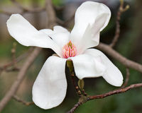 Magnolia flower stock photography