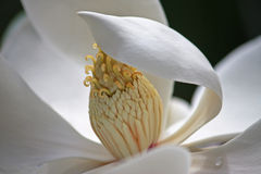 Magnolia flower. Close up of a magnolia flower Royalty Free Stock Photography