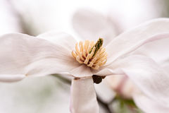 Free Magnolia Flower Stock Photo - 22721740