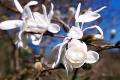 Magnolia flower Royalty Free Stock Photo