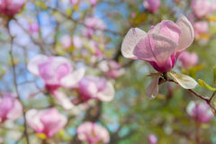 Magnolia flower. With bright blurred background Stock Photography