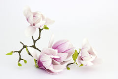 Free Magnolia Flower Stock Photography - 30041032