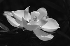 Magnolia Flower. A black & white macro view of a beautiful Magnolia flower Royalty Free Stock Photos