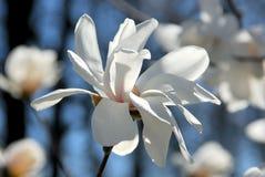 Magnolia flower Stock Image
