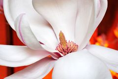 Magnolia flower. Close up look of a blooming magnolia in butchart gardens, victoria, british columbia, canada Royalty Free Stock Image