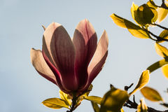 Magnolia flower against blue sky Stock Images