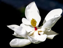 magnolia flower against a dark green blue background Stock Images
