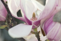 Magnolia Flower Royalty Free Stock Photography
