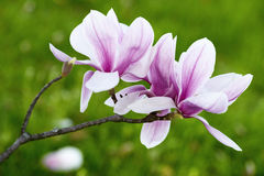 Magnolia Flower Royalty Free Stock Images