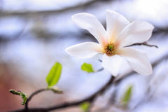 The magnolia flower bloomed. On a white background Stock Photo