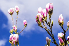 Magnolia Flower blooming. Royalty Free Stock Photography