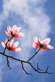 Magnolia Flower blooming. Stock Photo