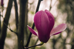 Magnolia flower blooming Stock Images