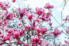 Magnolia flower blossom background stock image