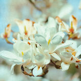 Magnolia Flower blossom. Paper background Royalty Free Stock Image