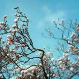 Magnolia Flower blossom Stock Image