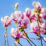 Magnolia Flower Blossom Stock Photo