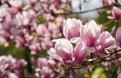 Magnolia flower blossom in spring. Beautiful spring background. Magnolia flowers closeup on a branch. blurred background of blossoming garden royalty free stock photo