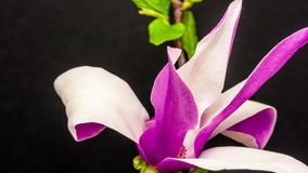 Magnolia Flower Blossoming Timelapse. Magnolia flower (Magnolia virginiana) blossoming timelapse shot against a black background stock footage