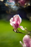 Magnolia flower - blurry background. Photo taken with a modified lens Stock Image