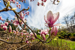 Magnolia flower branch. Close up on a blur background of garden, shot wide angle Stock Image